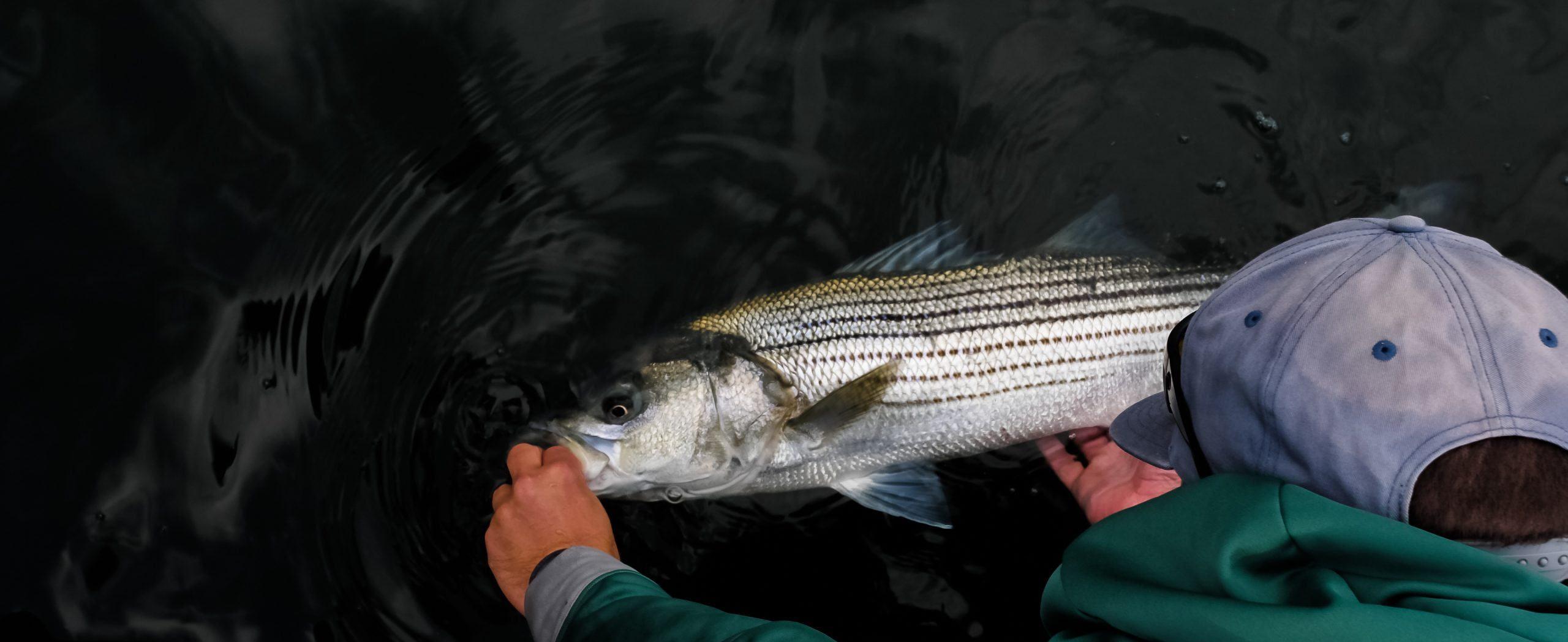 Striped Bass Boatside Release